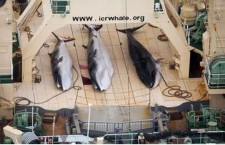 """צייד לא חוקי של לוויתנים – """"סצנה מימי הביניים"""""""